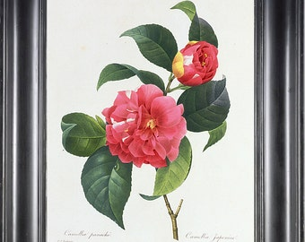 BOTANICAL PRINT REDOUTE Flower Camelia 8x10 Botanical Art Print 1 Beautiful Pink French Camelia Garden Nature Plant