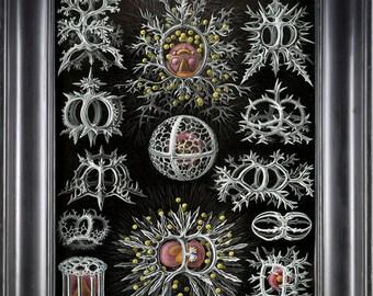 CORAL PRINT Print Ernst Haeckel 8X10 Art Print 5 Antique Black and White Beautiful Crown Royan Corals Sea Ocean Nature