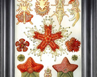 SEASTAR PRINT Ernst Haeckel 8X10 Art Print 7 Antique Colored Sea Star Starfish Red Orange Coral Beautiful Ocean Natural Science Home Decor