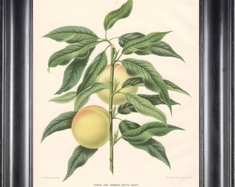 BOTANICAL PRINT Wendel 8x10 Botanical Art Print 1 Beautiful Peach Fruit Tree Branch Plant to Frame Interior Design