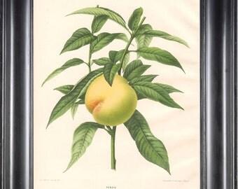 BOTANICAL PRINT Wendel 8x10 Botanical Art Print 2 Beautiful Peach Fruit Tree Branch Plant to Frame Interior Design