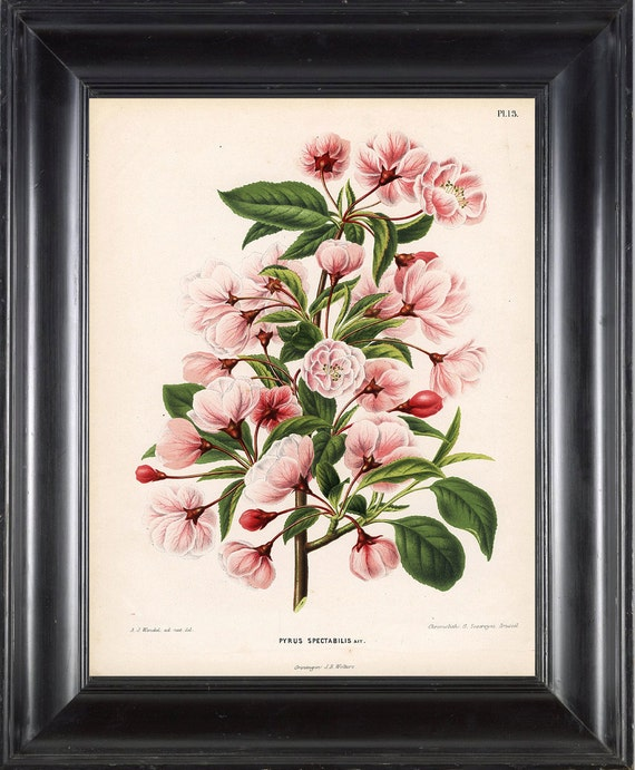 BOTANICAL PRINT WITTE 8x10 Botanical Art Print 3 Antique Chinese Apple White Pink Spring Blossoms Blooming Fruit Tree Garden