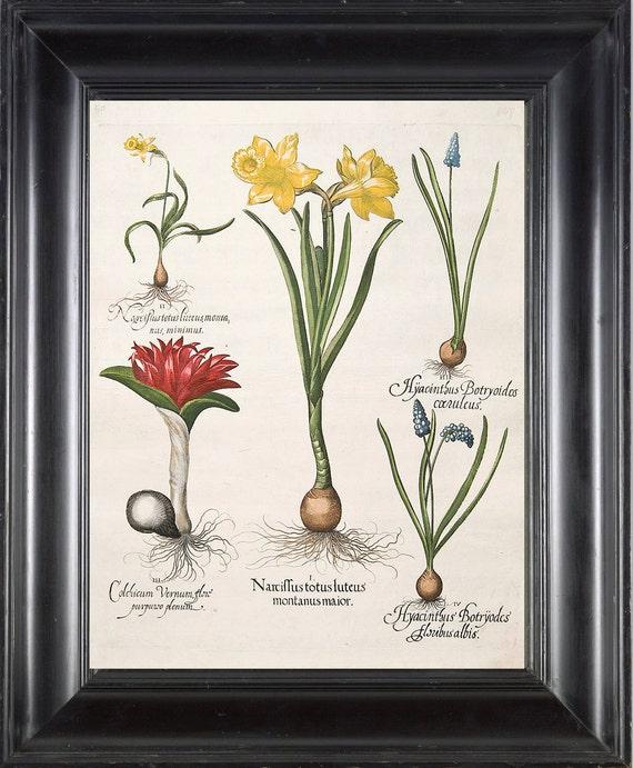 BOTANICAL PRINT Besler 8x10 Botanical Art Print 1 Beautiful Yellow Narcissus Blue Hyacinth Spring Garden Flowers Bulb Chart Home Wall Decor
