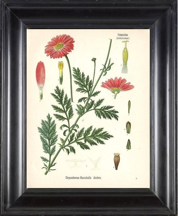 BOTANICAL PRINT Kohler 8x10 Botanical Art Print 6 Beautiful Red Pink Chrysanthemum Spring Simmer Garden Plant to Frame Interior Design