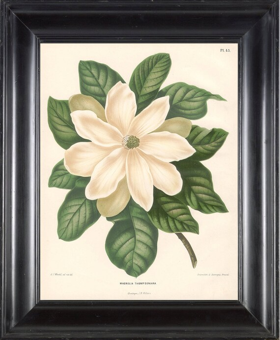 BOTANICAL PRINT Wendel 8x10 Botanical Art Print 11 Beautiful White Magnolia Flower Garden Plant to Frame Interior Decoration Room Design