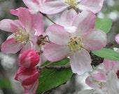 Lovely Apple Blossom 8x10 Photo.