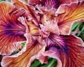 Petal Veins - Flower, Floral, Iris, Orchid, Nature, Spring, Wall Decor - 8x10 Fine Art Photography Print