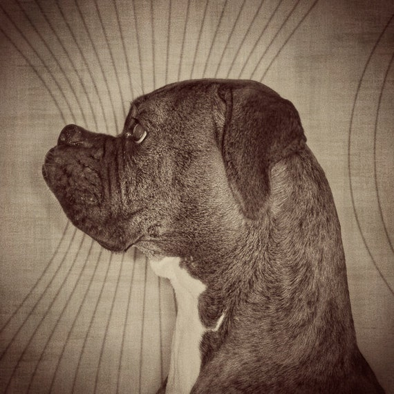 Of a boxer in profile tintype dog portrait in 8x10 inch mat