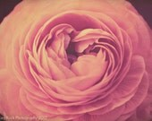 """Ranunculus - Pink - Flower - Nature - Photography - Vintage-Inspired - Home Decor -  4x6 - """"Delicate Petals"""""""