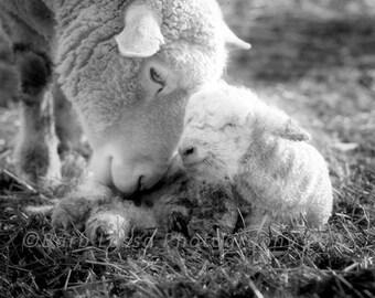 Ewe, Lamb, Newborn, Black and White, Birth, Spring, Love, Nursery, Fine Art, Photography, Barb Lassa