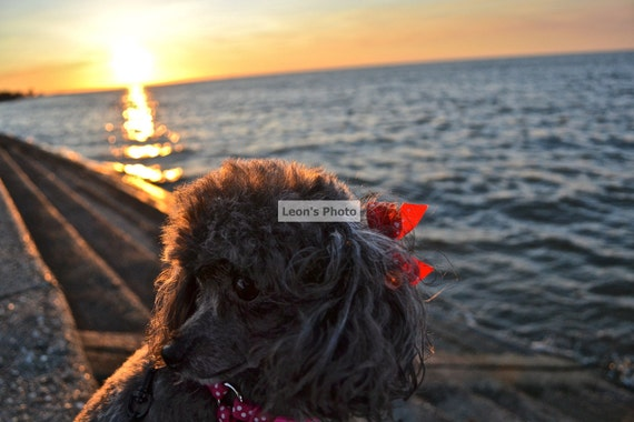ACEO Poodle at Sunset