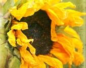 Photography - Crumpled Sunflower Golden Green Macro Grunge 8x10