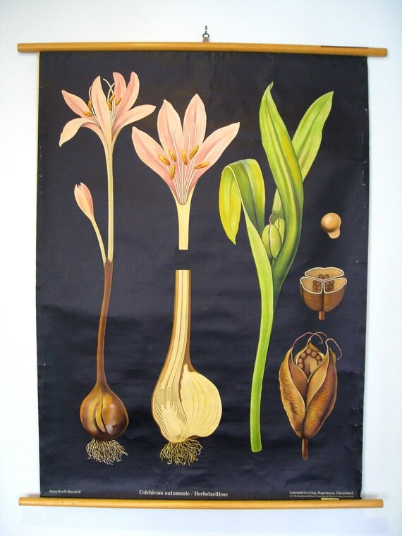 On Hold for Jill - Meadow Saffron Plant Vintage Botanical Wall Hanging - Roll Chart - Retro Decor