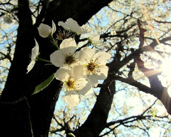 harbinger of spring // nature // Overland Park, KS // flowers // pear tree