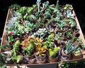 "Succulent Terrarium, Living Walls , Outdoor Garden 20- 2"" Cuttings Many Varieties Included"