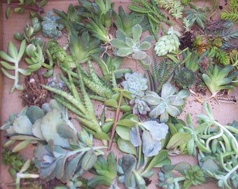 "Succulent Centerpieces, Living Walls, Weddings Gift Give Aways- 20 2"" Cuttings of Succulents/ Sedums"