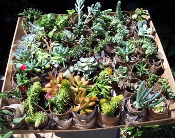"Succulent Terrarium, Living Walls , Outdoor Garden 18- 2"" Cuttings Many Varieties Included"