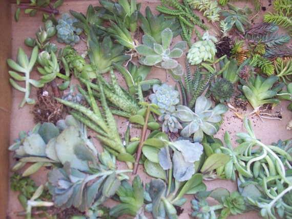 """Succulent Centerpieces, Living Walls, Weddings Gift Give Aways- 24 2"""" Cuttings of Succulents/ Sedums"""