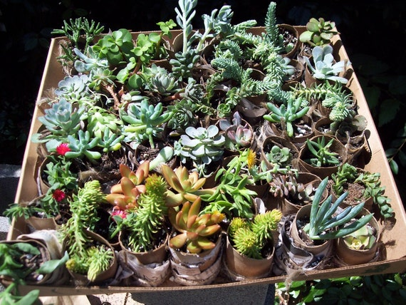 "Succulent Terrarium, Living Walls , Outdoor Garden 16- 2"" Cuttings of Succulents and Sedums """