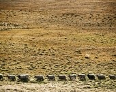 Sheep, on the move in Iceland
