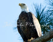 """American Bald Eagle  -   8"""" x 10"""" or size of your choice"""