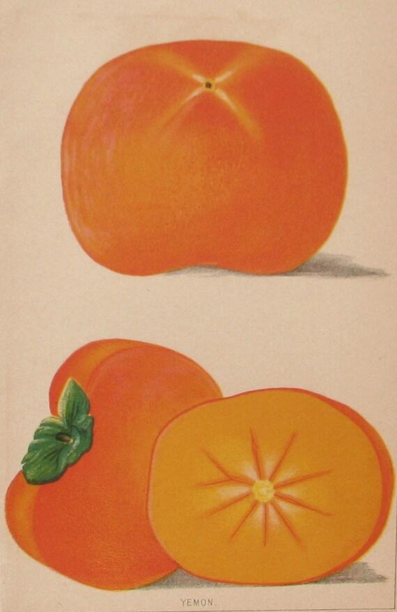 Antique Botanical Illustration - Satsuma Orange - 1887 original book plate