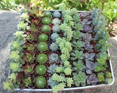 """Wedding Favor Succulents 20 Wonderful plants in 2"""" plastic pots succulent party favors gifts"""