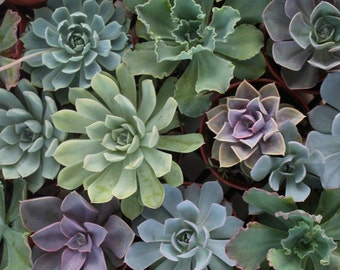 20 (4 inch) ECHEVERIA Succulents in their 4 inch plastic containers beautiful for wedding shower FAVORS party gifts plants succulent
