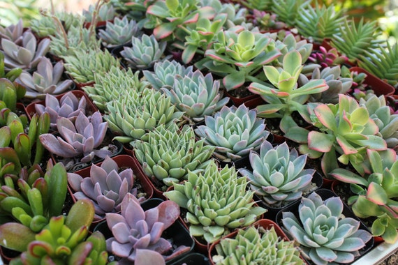 "64 Gorgeous Succulents for Wedding Favors or Shower Gifts in 2"" pots succulent"
