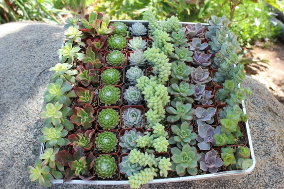 Wedding Gift Plant : Wedding Favor Succulents 20 Wonderful plants in 2