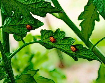 Ladybugs Garden Nature Plants - Fine Art Photograph Print Picture on Dye Infused Aluminum