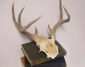 Vintage 7 Point Deer Antler Skull Wall Decor