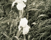 Black & White Iris Photograph - 5x7 - Cottage Iris - Chic Country  Iris