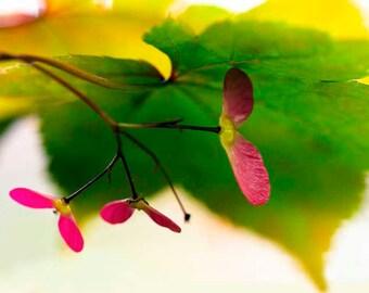 Fine Art Photography Print spring maple hot pink green yellow wall art home decor gift idea