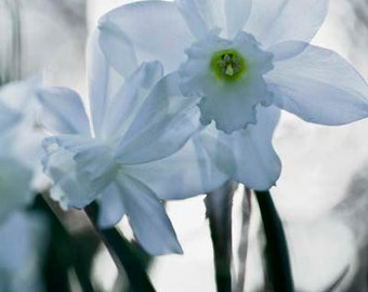 Fine Art Photography white flower daffodil narcissus floral spring wall art home decor