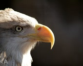 Bald Eagle from Side