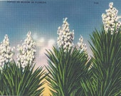 1950s Vintage Postcard: Yucca in Bloom in Florida