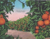 Growing ORANGES in FLORIDA, Vintage Postcard Used, 1946. Kropp Co.