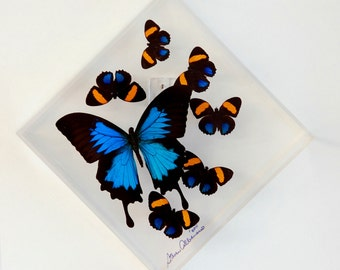 "7"" x 7"" Ulysses Exotic Butterfly Display."