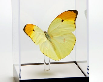 """4 3/4"""" tall Table Display with Anteos Menippe Butterfly from Peru."""