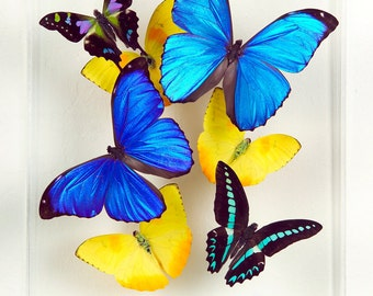 "8"" x 10"" Real Exotic Butterfly Display."