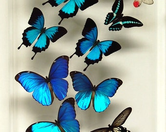 "12"" x 24"" Real Exotic Butterfly Display."