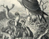 Antique 1898 Plate of the Osprey