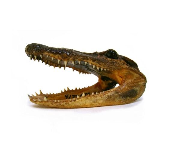 Small Alligator Taxidermy Head
