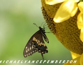 8X12  Fine Art Butterfly On Sunflower Print Beautiful Home and Office Decor Artwork.