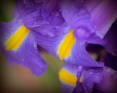Iris Photography 8x10: Triplet purple, yellow flower photography, mothers day