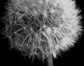 black and white dandelion puff