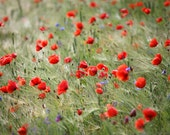 Poppies. Art Photography Print.