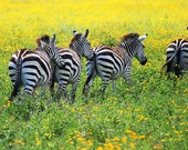 Zebras. 5x7 Art Photography Print.