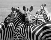 Zebras. Black and White. Art Photography Print.